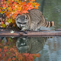 Raccoon procyon lotor with reflection looking right captive animal Stock Photography