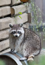 Raccoon procyon lotor sitting on a barrel looking to viewer curiously towards the Royalty Free Stock Photography