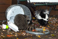 Raccoon procyon lotor and skunk mephitis mphitis raid trash captive animals Royalty Free Stock Photos