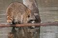 Raccoon procyon lotor sniffs at log captive animal Stock Photography