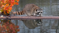 Raccoon (Procyon lotor) Splashes Water Stock Photography