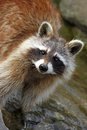 Raccoon procyon lotor standing in water cute attentive brown coloured with facial mask clear clean enjoying the sun racoon also Stock Images