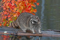 Raccoon procyon lotor stands on log in pond looking left captive animal Stock Photo