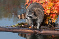 Raccoon (Procyon lotor) Stands on Log in Water Looking Left Stock Images