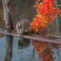 Raccoon procyon lotor stands on logs in pond captive animal Stock Photos