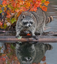 Raccoon procyon lotor stands spread legged on log in water captive animal Royalty Free Stock Image