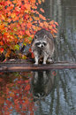 Raccoon (Procyon lotor) Stands Still on Log in Water Royalty Free Stock Photography