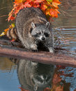 Raccoon procyon lotor stands uncertainly on log captive animal Stock Photo
