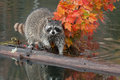 Raccoon (Procyon lotor) Stares at Viewer Stock Photo