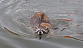 Raccoon procyon lotor straight on swim captive animal Royalty Free Stock Photo