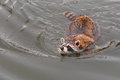 Raccoon procyon lotor swims for shore captive animal Royalty Free Stock Photo