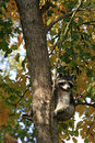 Raccoon procyon lotor in tree with autumn foliage cute attentive brown coloured facial mask sitting a at fall racoon also known as Royalty Free Stock Images