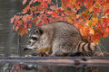 Raccoon procyon lotor washes paws captive animal Stock Photos