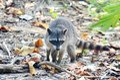 Raccoon relaxing on the beach