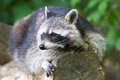 Raccoon resting on a log Royalty Free Stock Photo