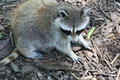 Raccoon scouring for food on the ground Royalty Free Stock Image