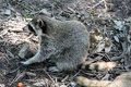 Raccoon scouring for food on the ground Royalty Free Stock Photos