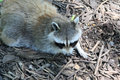 Raccoon scouring for food on the ground Stock Photo