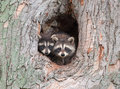 Raccoon Siblings Stock Image