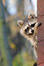 Raccoon a is sitting in a house and looking Stock Photography