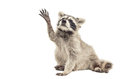Raccoon sitting with paw raised up isolated on white background Royalty Free Stock Images