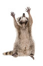 Raccoon sitting with raised paws Royalty Free Stock Photo