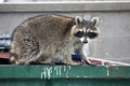 Raccoon standing on a dumpster Royalty Free Stock Photography