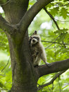 Raccoon in a tree Stock Photo
