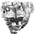 Raccoon the vector image of a muzzle of a running Royalty Free Stock Photo