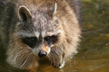 Raccoon a is walking in the water Stock Images