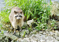 Raccoon at water's edge Royalty Free Stock Photos