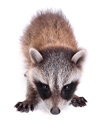 Raccoon on white baby procyon lotor a background Royalty Free Stock Image