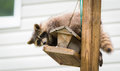 Raccoon x procyon lotor x on a bird feeder eastern ontario masked mammal looks for and finds an easy meal friendly animal lovers Royalty Free Stock Photography