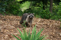 Raccoon in yard Royalty Free Stock Images