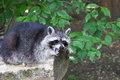 Raccoon yawning on a log Royalty Free Stock Photo