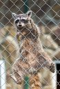 Raccoon in zoo a procyon lotor behind a fence at a Stock Photography