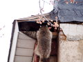 Raccoons in the attic Royalty Free Stock Photo