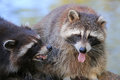 Raccoons closeup of two procyon lotor Stock Photos