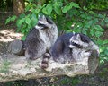 Raccoons on a log Royalty Free Stock Photo
