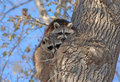 Raccoons in tree in new york pair of north american central park Stock Images