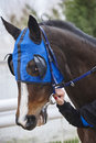 Race horse head with blinkers. Paddock area. Royalty Free Stock Photo