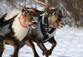 Racing of reindeers Royalty Free Stock Photography