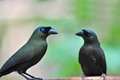 Racket tailed treepie bird couple of crypsirina temia black is drinking water Royalty Free Stock Photo