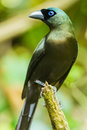 Racket tailed treepie close up portrait of Royalty Free Stock Photo
