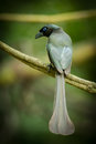 Racket tailed treepie crypsirina temia in nature Royalty Free Stock Images