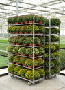 Racks of potted chrysanthemums in flower in a nursery greenhouse ready for transport to retail outlets Royalty Free Stock Photo