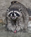 Racoon 3 Royalty Free Stock Photo