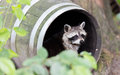 Racoon in a barrel, resting Royalty Free Stock Photo