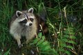 Racoon Royalty Free Stock Photo