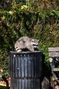 A racoon deftly making its way out of a trash can. Royalty Free Stock Photo